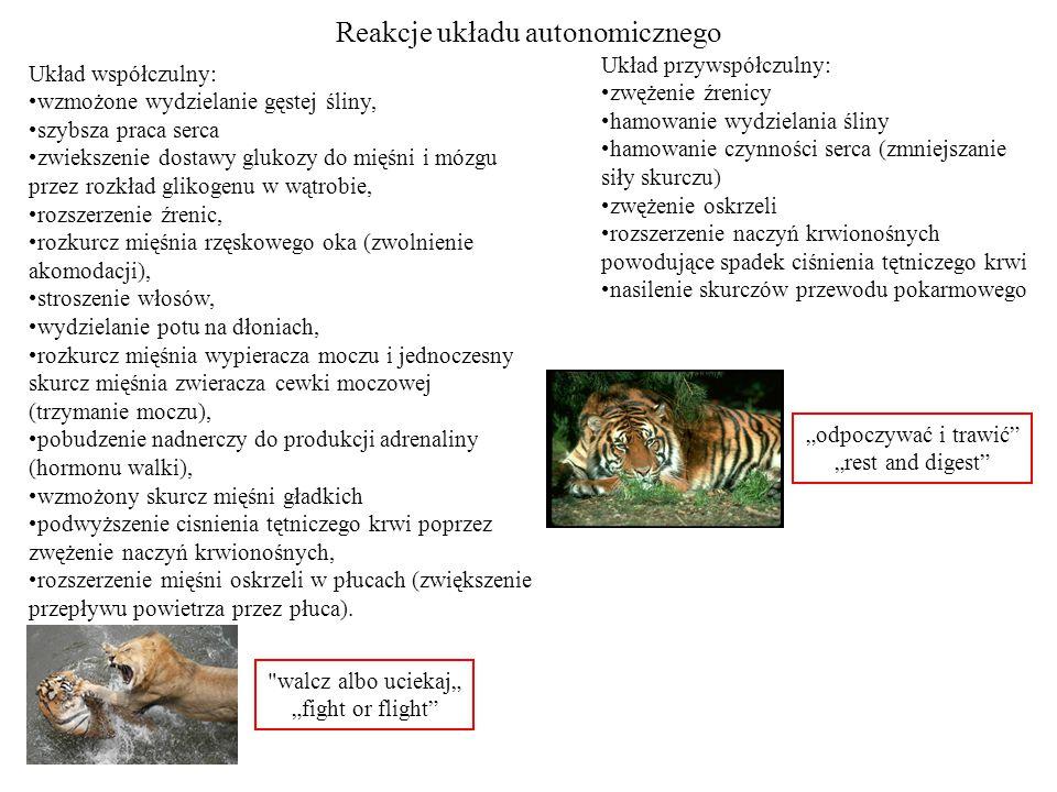 Reakcje układu autonomicznego Układ współczulny: wzmożone wydzielanie gęstej śliny, szybsza praca serca zwiekszenie dostawy glukozy do mięśni i mózgu przez rozkład glikogenu w wątrobie, rozszerzenie źrenic, rozkurcz mięśnia rzęskowego oka (zwolnienie akomodacji), stroszenie włosów, wydzielanie potu na dłoniach, rozkurcz mięśnia wypieracza moczu i jednoczesny skurcz mięśnia zwieracza cewki moczowej (trzymanie moczu), pobudzenie nadnerczy do produkcji adrenaliny (hormonu walki), wzmożony skurcz mięśni gładkich podwyższenie cisnienia tętniczego krwi poprzez zwężenie naczyń krwionośnych, rozszerzenie mięśni oskrzeli w płucach (zwiększenie przepływu powietrza przez płuca).
