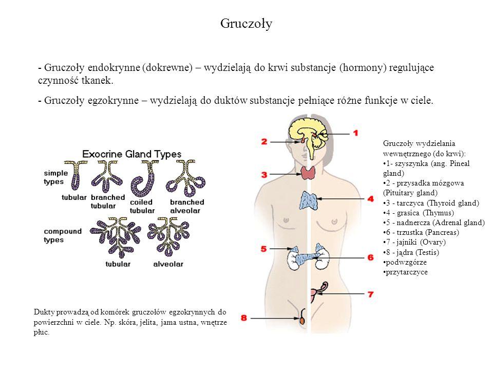 Gruczoły - Gruczoły endokrynne (dokrewne) – wydzielają do krwi substancje (hormony) regulujące czynność tkanek.