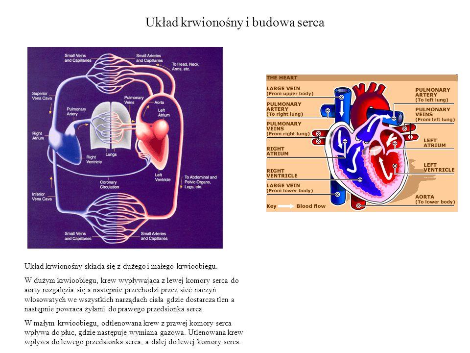 Układ krwionośny i budowa serca Układ krwionośny składa się z dużego i małego krwioobiegu.