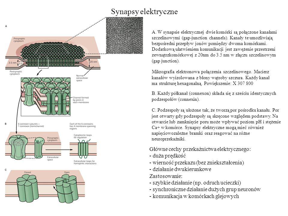 Synapsy elektryczne Główne cechy przekaźnictwa elektrycznego: - duża prędkość - wierność przekazu (bez zniekształcenia) - działanie dwukierunkowe Zastosowanie: - szybkie działanie (np.