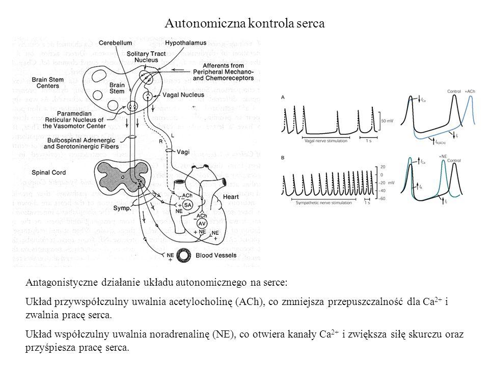 Autonomiczna kontrola serca Antagonistyczne działanie układu autonomicznego na serce: Układ przywspółczulny uwalnia acetylocholinę (ACh), co zmniejsza przepuszczalność dla Ca 2+ i zwalnia pracę serca.