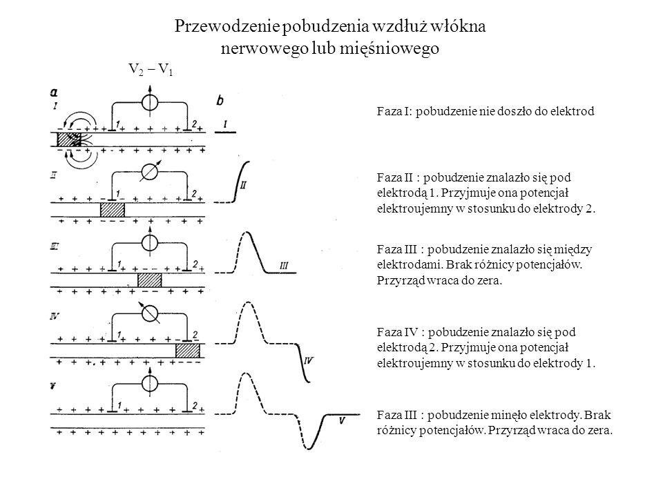 Przewodzenie pobudzenia wzdłuż włókna nerwowego lub mięśniowego Faza I: pobudzenie nie doszło do elektrod Faza II : pobudzenie znalazło się pod elektrodą 1.