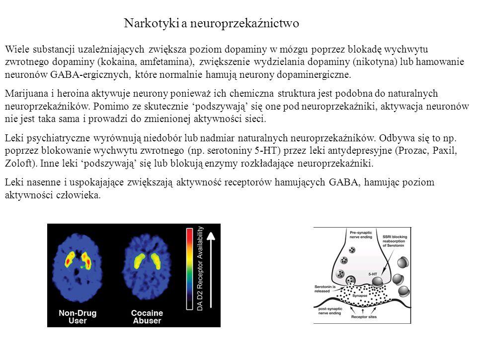 Narkotyki a neuroprzekaźnictwo Wiele substancji uzależniających zwiększa poziom dopaminy w mózgu poprzez blokadę wychwytu zwrotnego dopaminy (kokaina, amfetamina), zwiększenie wydzielania dopaminy (nikotyna) lub hamowanie neuronów GABA-ergicznych, które normalnie hamują neurony dopaminergiczne.