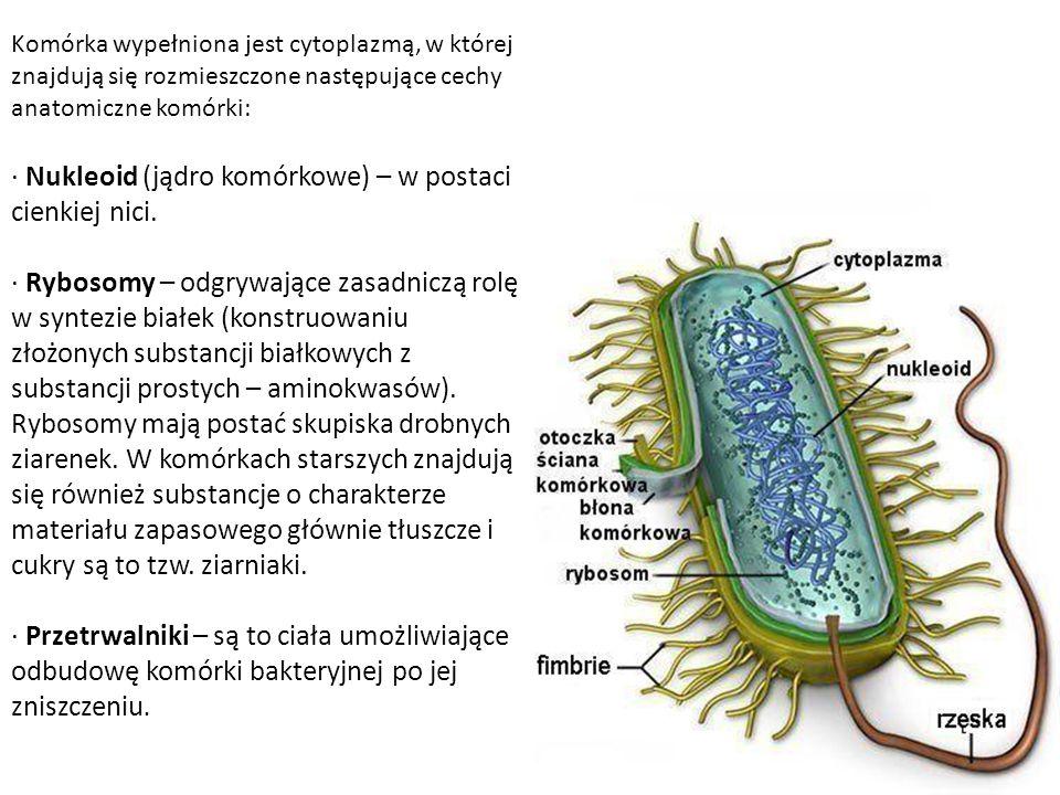 Komórka wypełniona jest cytoplazmą, w której znajdują się rozmieszczone następujące cechy anatomiczne komórki: · Nukleoid (jądro komórkowe) – w postaci cienkiej nici.