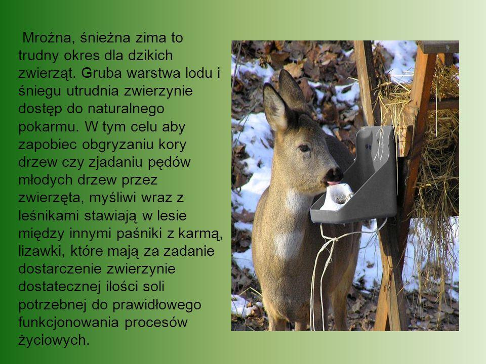 Mroźna, śnieżna zima to trudny okres dla dzikich zwierząt. Gruba warstwa lodu i śniegu utrudnia zwierzynie dostęp do naturalnego pokarmu. W tym celu a