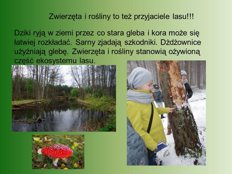 Zwierzęta i rośliny to też przyjaciele lasu!!! Dziki ryją w ziemi przez co stara gleba i kora może się łatwiej rozkładać. Sarny zjadają szkodniki. Dżd