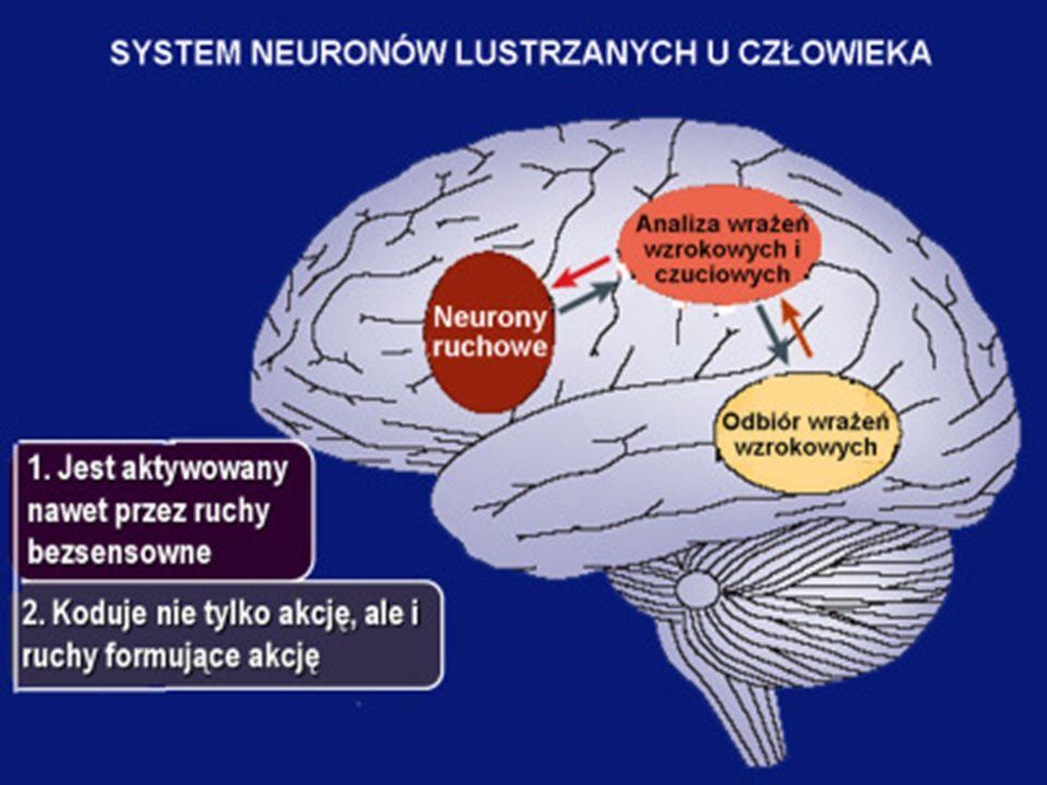 """Drogi przetwarzania neuronalnego- droga """"dół –góra W pierwszą drogę """"dół- góra zaangażowany jest układ neuronów lustrzanych (MNS – mirror neurons system)."""