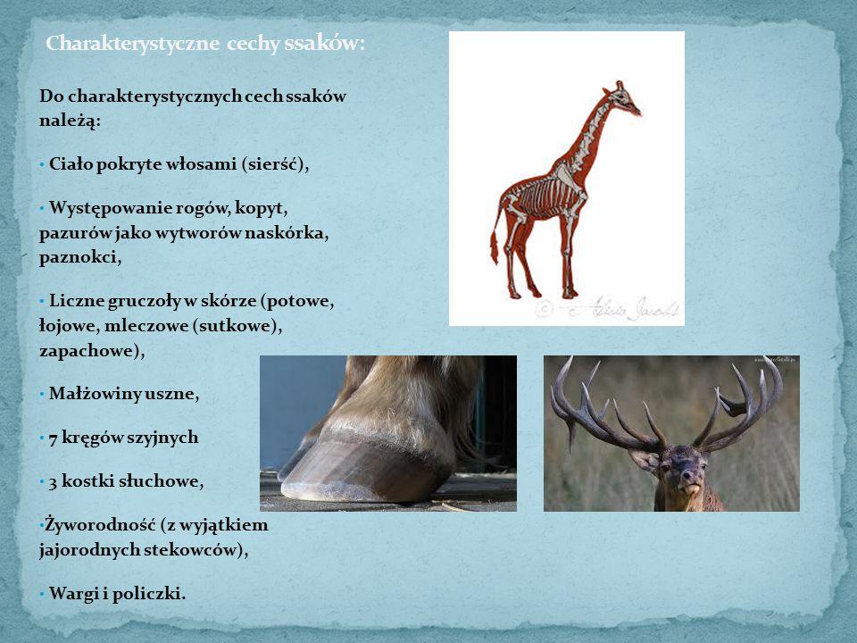 Do charakterystycznych cech ssaków należą: Ciało pokryte włosami (sierść), Występowanie rogów, kopyt, pazurów jako wytworów naskórka, paznokci, Liczne