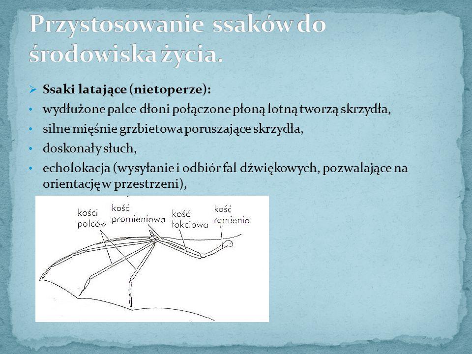  Ssaki latające (nietoperze): wydłużone palce dłoni połączone płoną lotną tworzą skrzydła, silne mięśnie grzbietowa poruszające skrzydła, doskonały s