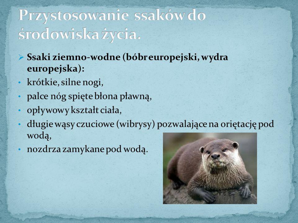  Ssaki ziemno-wodne (bóbr europejski, wydra europejska): krótkie, silne nogi, palce nóg spięte błona pławną, opływowy kształt ciała, długie wąsy czuc