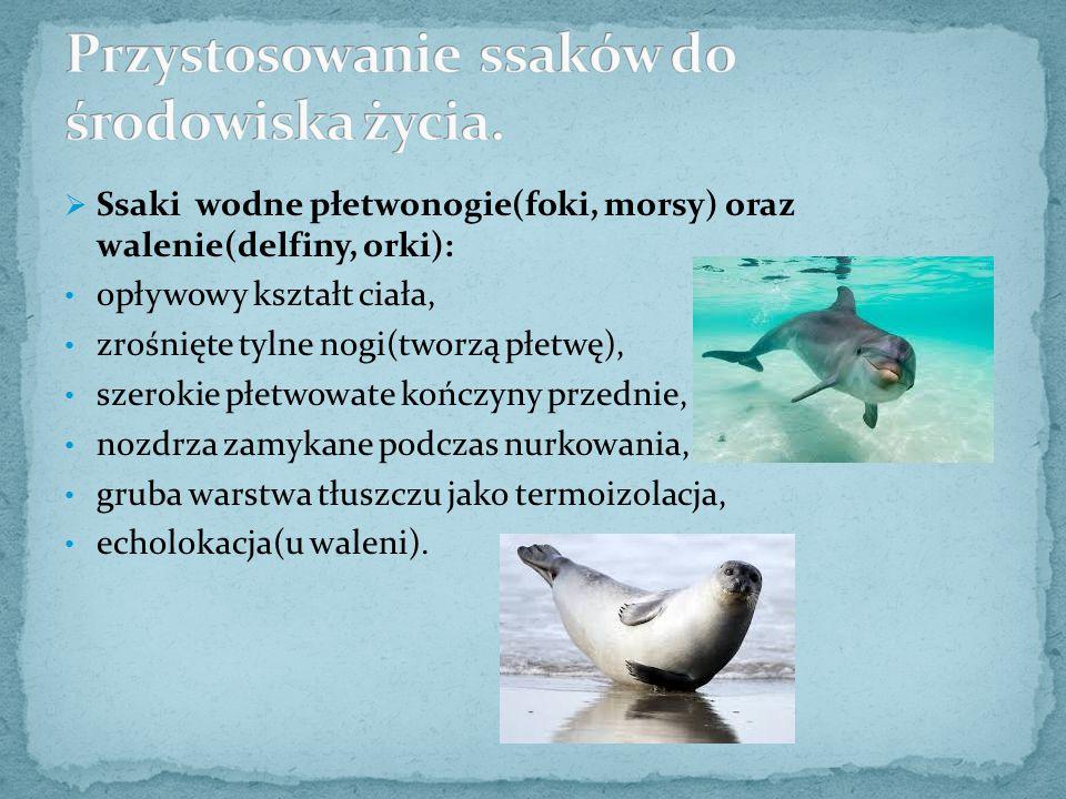  Ssaki wodne płetwonogie(foki, morsy) oraz walenie(delfiny, orki): opływowy kształt ciała, zrośnięte tylne nogi(tworzą płetwę), szerokie płetwowate k