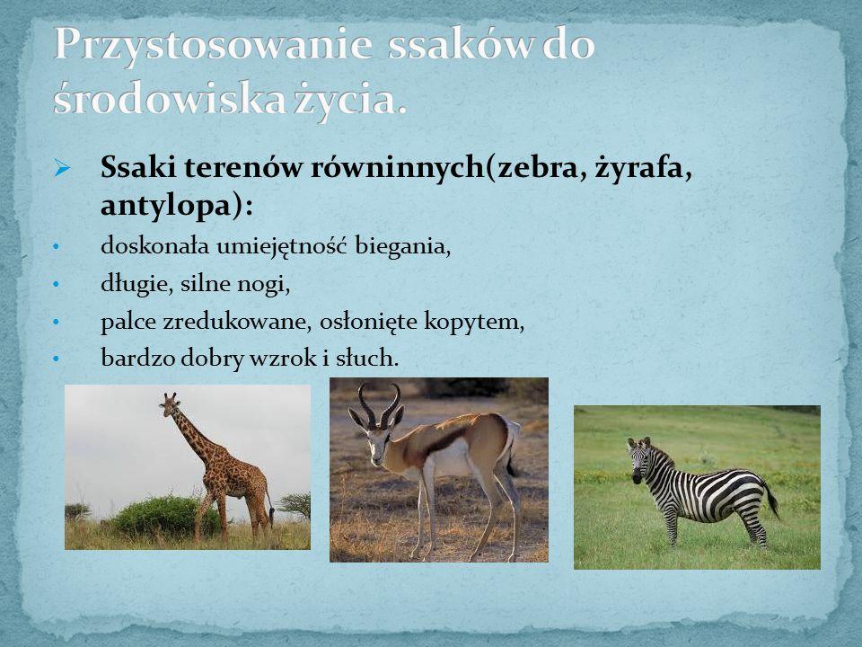  Ssaki terenów równinnych(zebra, żyrafa, antylopa): doskonała umiejętność biegania, długie, silne nogi, palce zredukowane, osłonięte kopytem, bardzo