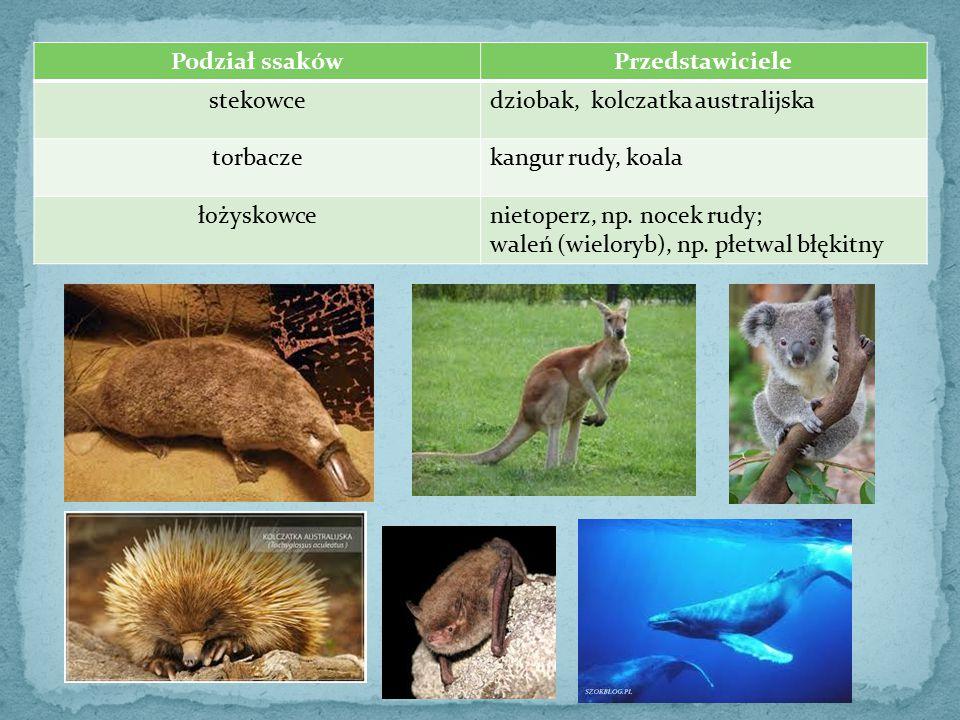 Podział ssakówPrzedstawiciele stekowcedziobak, kolczatka australijska torbaczekangur rudy, koala łożyskowcenietoperz, np. nocek rudy; waleń (wieloryb)
