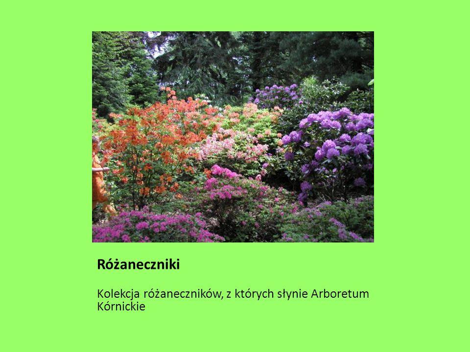 Różaneczniki Kolekcja różaneczników, z których słynie Arboretum Kórnickie