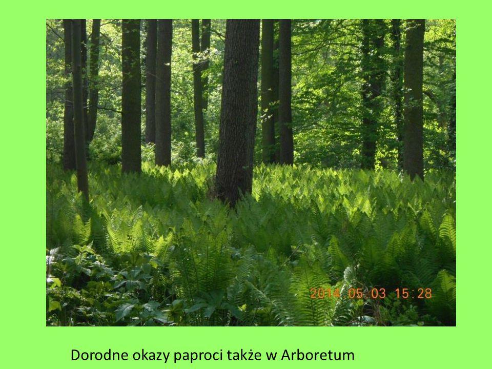 Dorodne okazy paproci także w Arboretum
