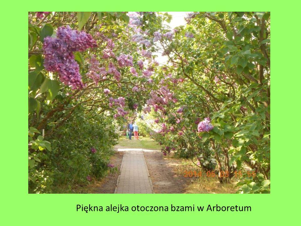 Piękna alejka otoczona bzami w Arboretum