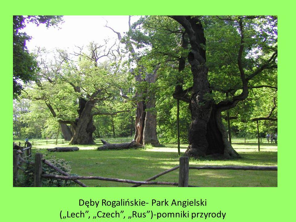 """Dęby Rogalińskie- Park Angielski (""""Lech"""", """"Czech"""", """"Rus"""")-pomniki przyrody"""