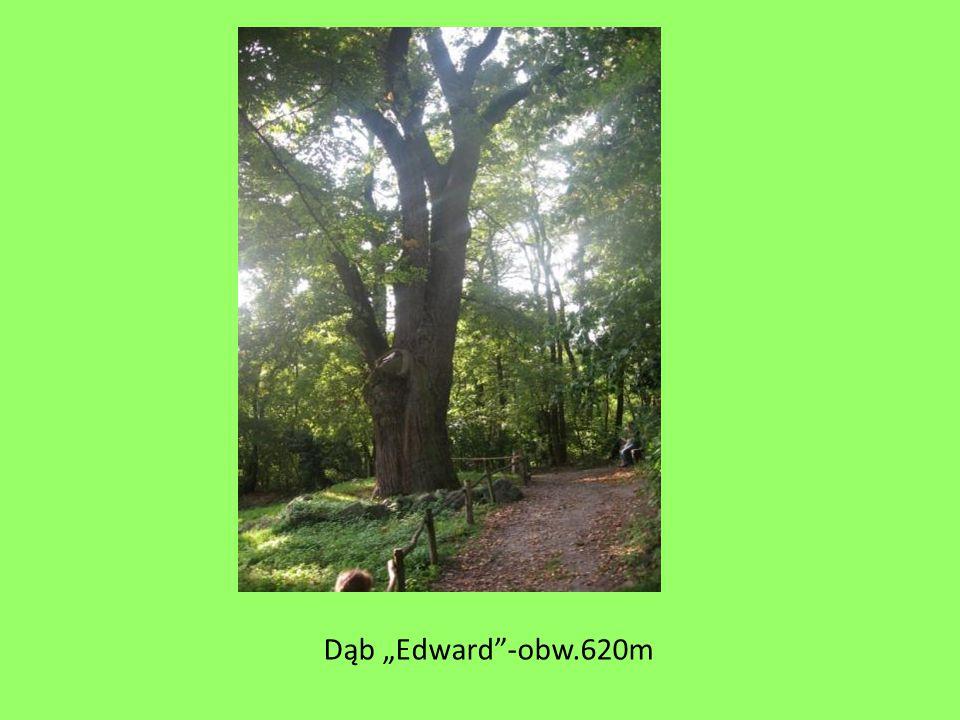 "Dąb ""Edward""-obw.620m"