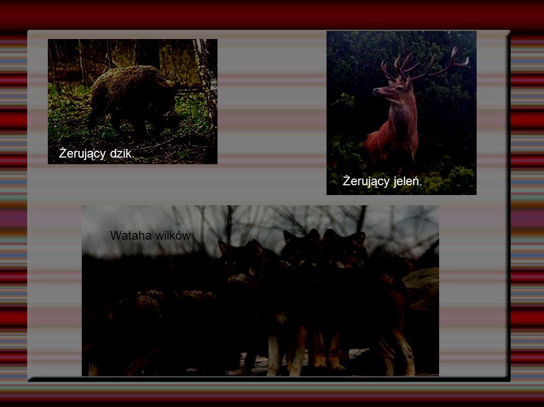 """""""Gdzie łów tam chów Myśliwi zobowiązani są również do dbania o łowisko i zwierzynę poprzez:  dokarmianie zwierząt  budowę i konserwację karmników  uprawę pasów zaporowych, gdzie zwierzyna znajduje pokarm i schronienie."""
