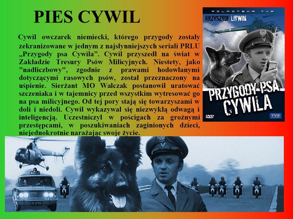 """PIES CYWIL Cywil owczarek niemiecki, którego przygody zostały zekranizowane w jednym z najsłynniejszych seriali PRLU """"Przygody psa Cywila"""". Cywil przy"""