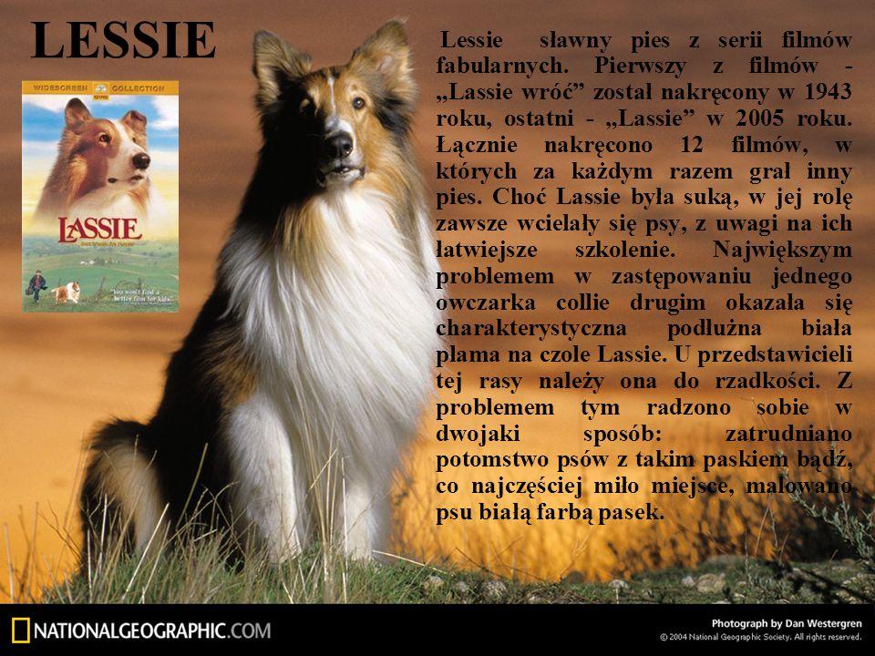 """LESSIE Lessie sławny pies z serii filmów fabularnych. Pierwszy z filmów - """"Lassie wróć"""" został nakręcony w 1943 roku, ostatni - """"Lassie"""" w 2005 roku."""