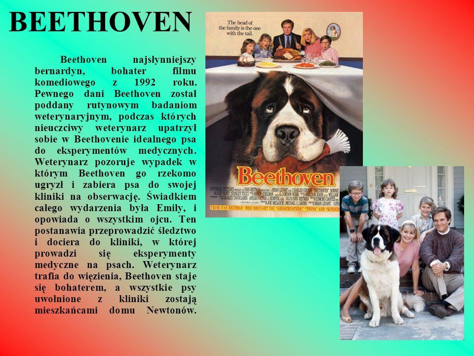 BEETHOVEN Beethoven najsłynniejszy bernardyn, bohater filmu komediowego z 1992 roku. Pewnego dani Beethoven został poddany rutynowym badaniom weteryna