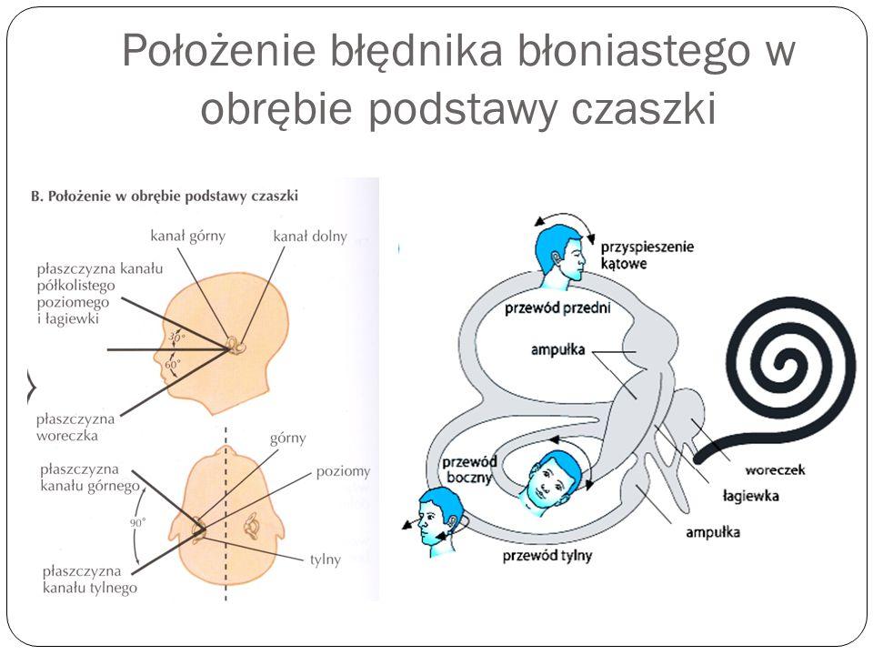 Położenie błędnika błoniastego w obrębie podstawy czaszki