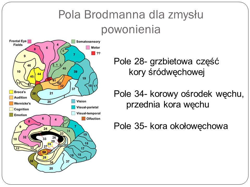 Pola Brodmanna dla zmysłu powonienia Pole 28- grzbietowa część kory śródwęchowej Pole 34- korowy ośrodek węchu, przednia kora węchu Pole 35- kora okoł