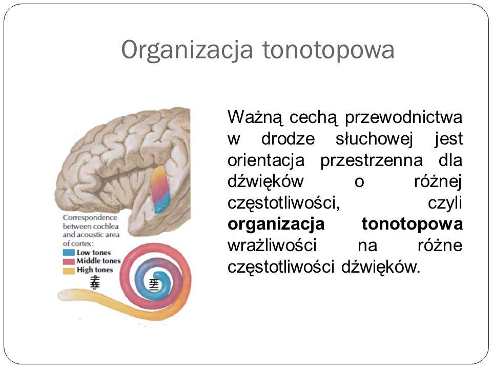 Organizacja tonotopowa Ważną cechą przewodnictwa w drodze słuchowej jest orientacja przestrzenna dla dźwięków o różnej częstotliwości, czyli organizac