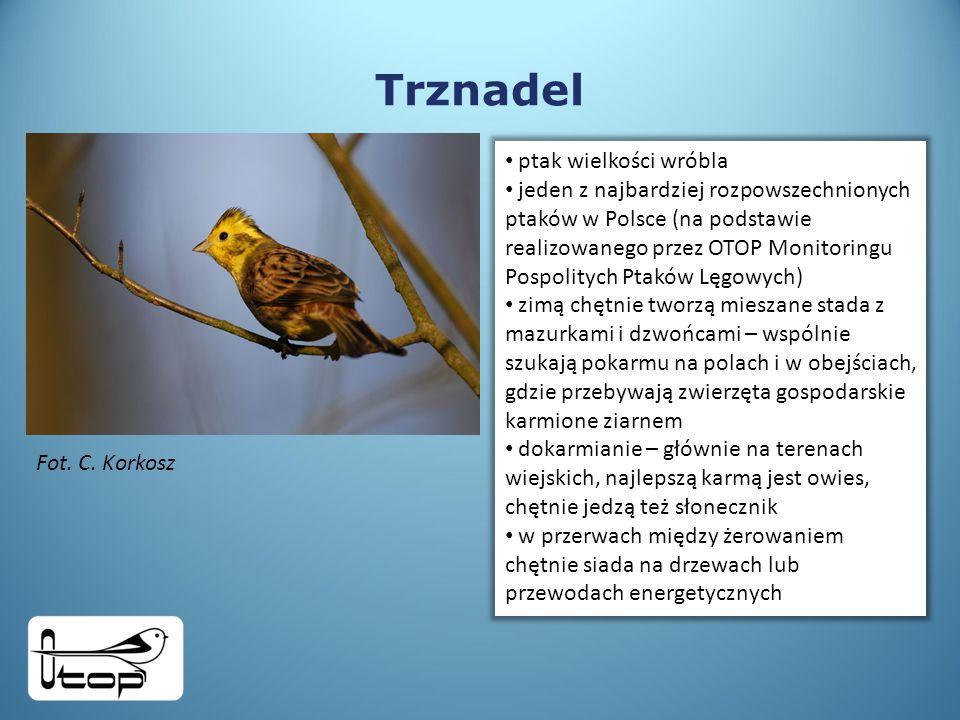 Trznadel ptak wielkości wróbla jeden z najbardziej rozpowszechnionych ptaków w Polsce (na podstawie realizowanego przez OTOP Monitoringu Pospolitych Ptaków Lęgowych) zimą chętnie tworzą mieszane stada z mazurkami i dzwońcami – wspólnie szukają pokarmu na polach i w obejściach, gdzie przebywają zwierzęta gospodarskie karmione ziarnem dokarmianie – głównie na terenach wiejskich, najlepszą karmą jest owies, chętnie jedzą też słonecznik w przerwach między żerowaniem chętnie siada na drzewach lub przewodach energetycznych Fot.