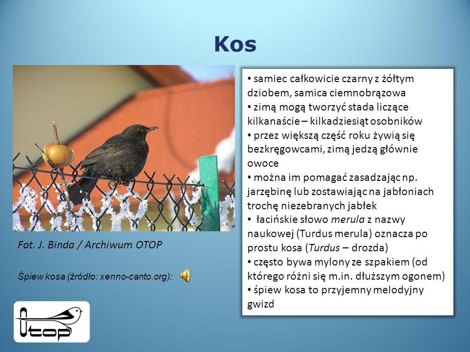 Kos samiec całkowicie czarny z żółtym dziobem, samica ciemnobrązowa zimą mogą tworzyć stada liczące kilkanaście – kilkadziesiąt osobników przez większą część roku żywią się bezkręgowcami, zimą jedzą głównie owoce można im pomagać zasadzając np.