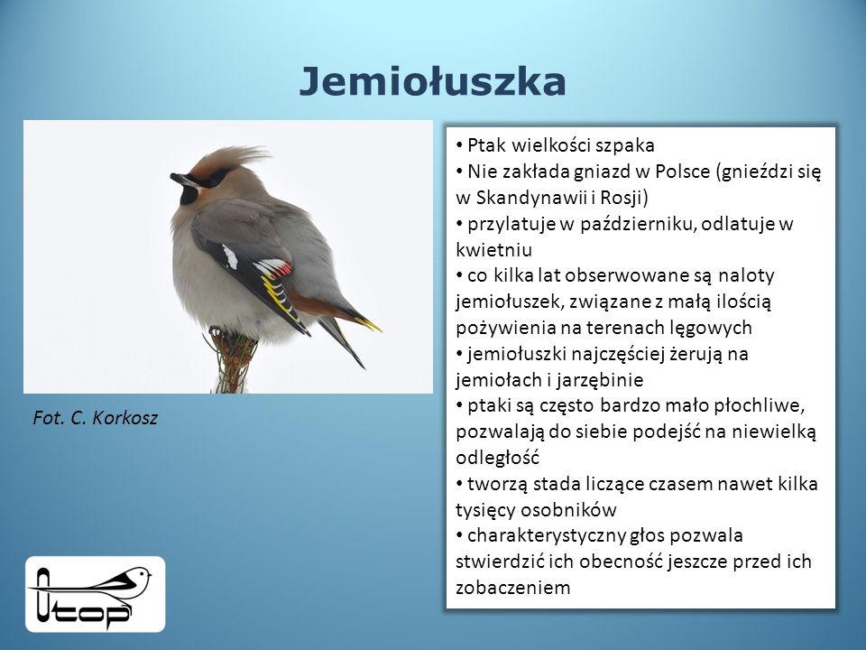 Jemiołuszka Ptak wielkości szpaka Nie zakłada gniazd w Polsce (gnieździ się w Skandynawii i Rosji) przylatuje w październiku, odlatuje w kwietniu co kilka lat obserwowane są naloty jemiołuszek, związane z małą ilością pożywienia na terenach lęgowych jemiołuszki najczęściej żerują na jemiołach i jarzębinie ptaki są często bardzo mało płochliwe, pozwalają do siebie podejść na niewielką odległość tworzą stada liczące czasem nawet kilka tysięcy osobników charakterystyczny głos pozwala stwierdzić ich obecność jeszcze przed ich zobaczeniem Fot.