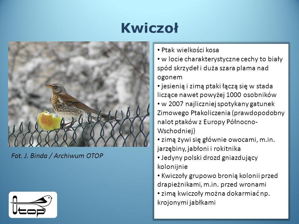 Kwiczoł Ptak wielkości kosa w locie charakterystyczne cechy to biały spód skrzydeł i duża szara plama nad ogonem jesienią i zimą ptaki łączą się w stada liczące nawet powyżej 1000 osobników w 2007 najliczniej spotykany gatunek Zimowego Ptakoliczenia (prawdopodobny nalot ptaków z Europy Północno- Wschodniej) zimą żywi się głównie owocami, m.in.