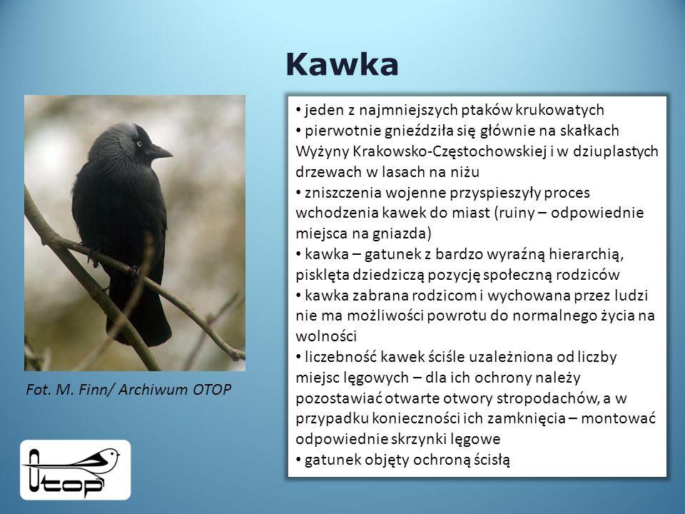Kawka Fot.M.
