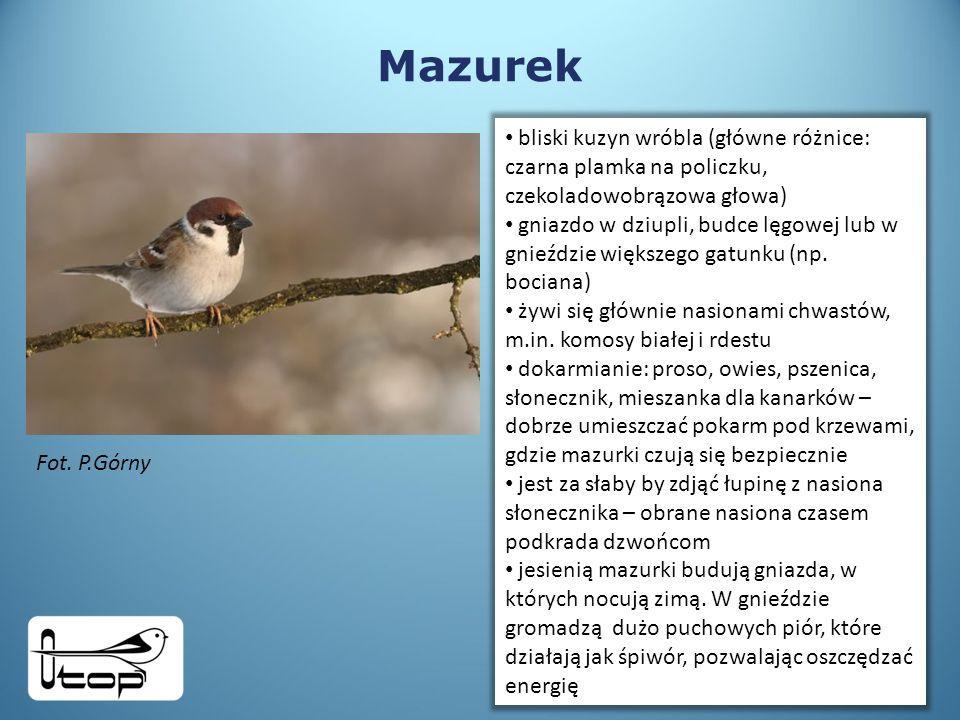 Mazurek Fot.