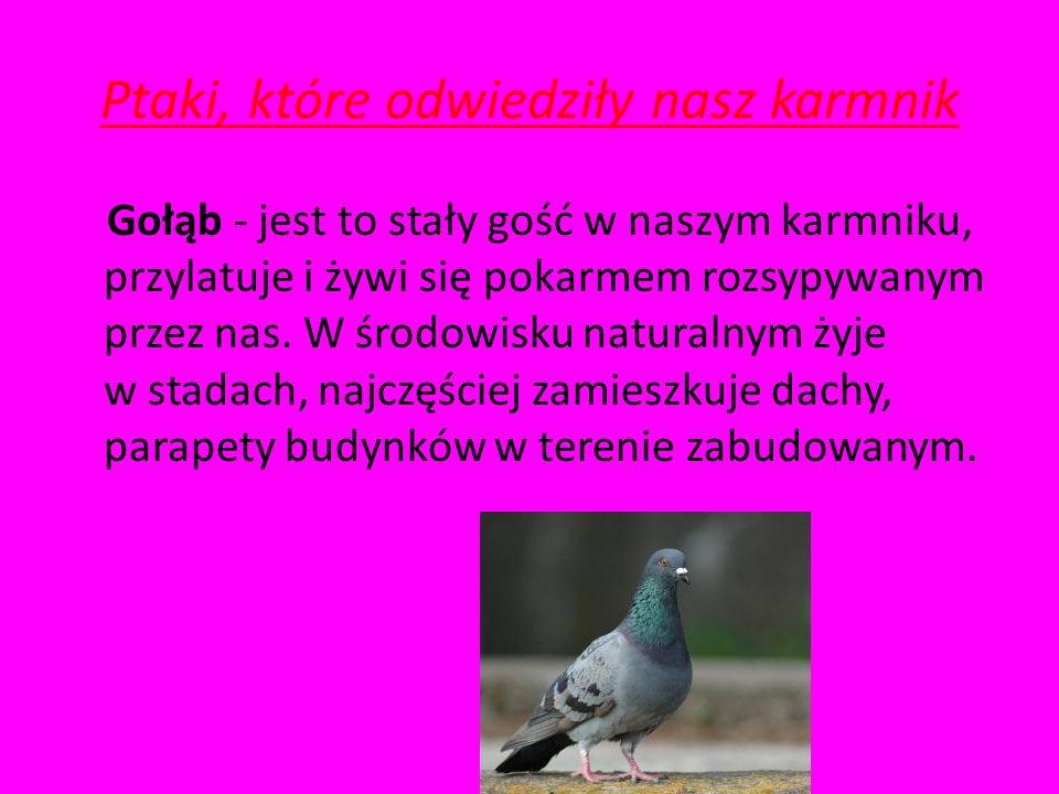 Ptaki, które odwiedziły karmnik Sójka – ptasi magazynier. Jeden z większych gości w karmniku, jeśli przyleci raz, możemy być pewni, że odwiedzać nas b