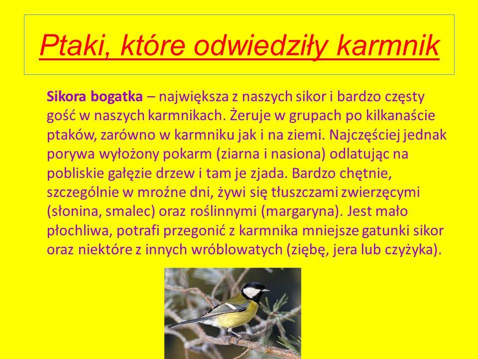 Ptaki, które odwiedziły karmnik Sikora bogatka – największa z naszych sikor i bardzo częsty gość w naszych karmnikach.