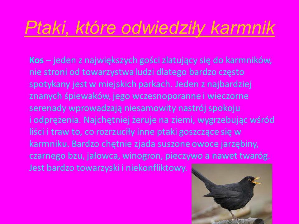 Ptaki, które odwiedziły karmnik Kos – jeden z największych gości zlatujący się do karmników, nie stroni od towarzystwa ludzi dlatego bardzo często spotykany jest w miejskich parkach.