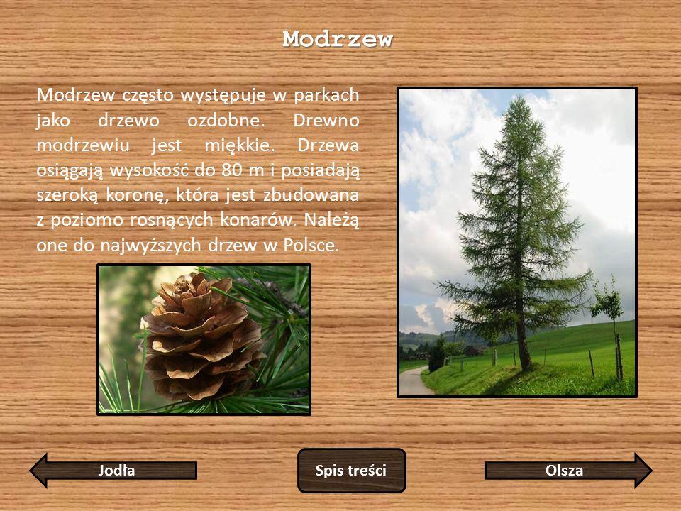 Modrzew Modrzew często występuje w parkach jako drzewo ozdobne.
