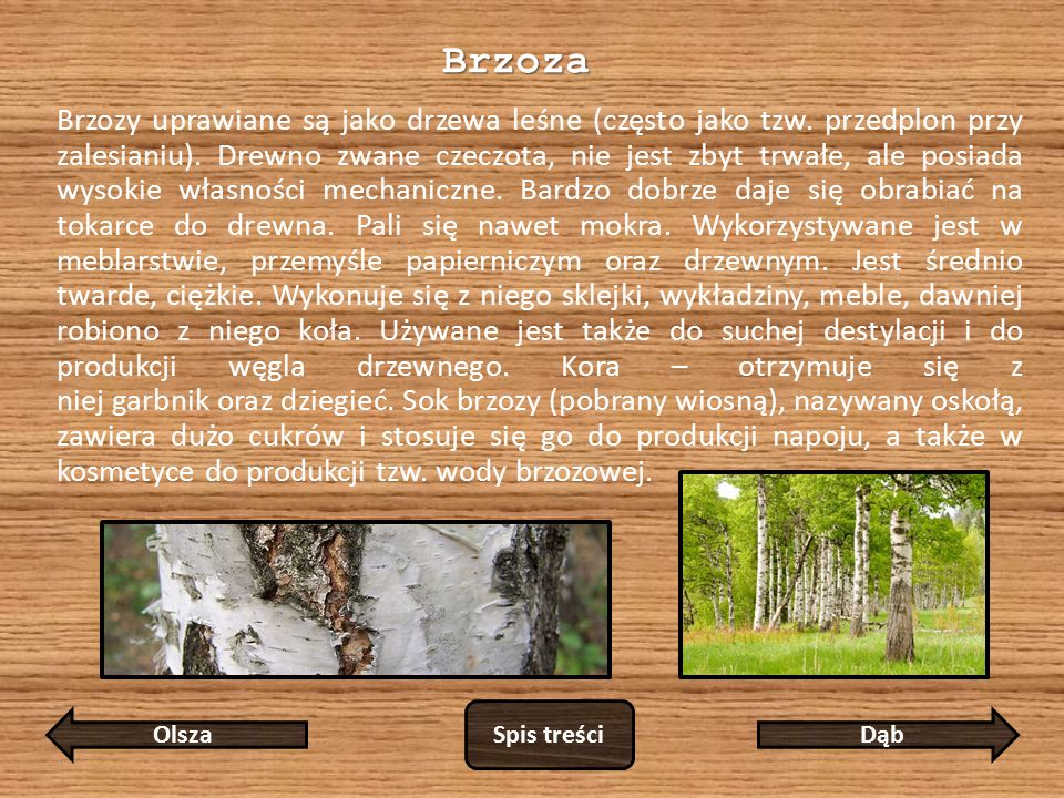 Brzoza Brzozy uprawiane są jako drzewa leśne (często jako tzw.