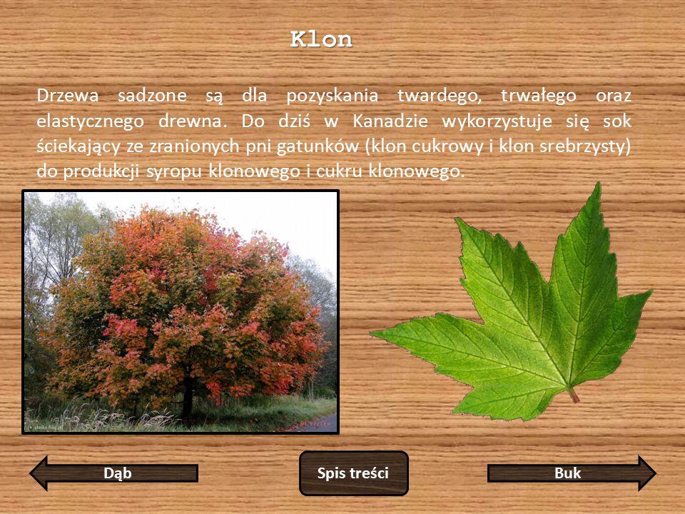 Klon Drzewa sadzone są dla pozyskania twardego, trwałego oraz elastycznego drewna.