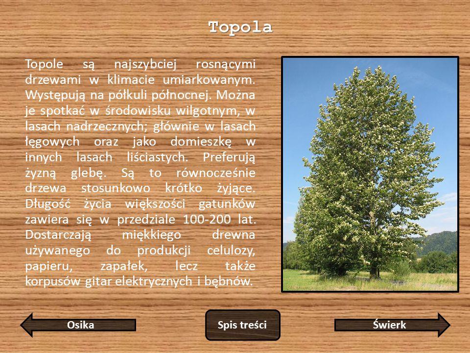 Topole są najszybciej rosnącymi drzewami w klimacie umiarkowanym.