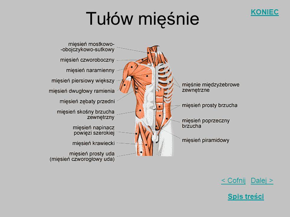 Dalej >< Cofnij KONIEC Spis treści Układ mięśniowy