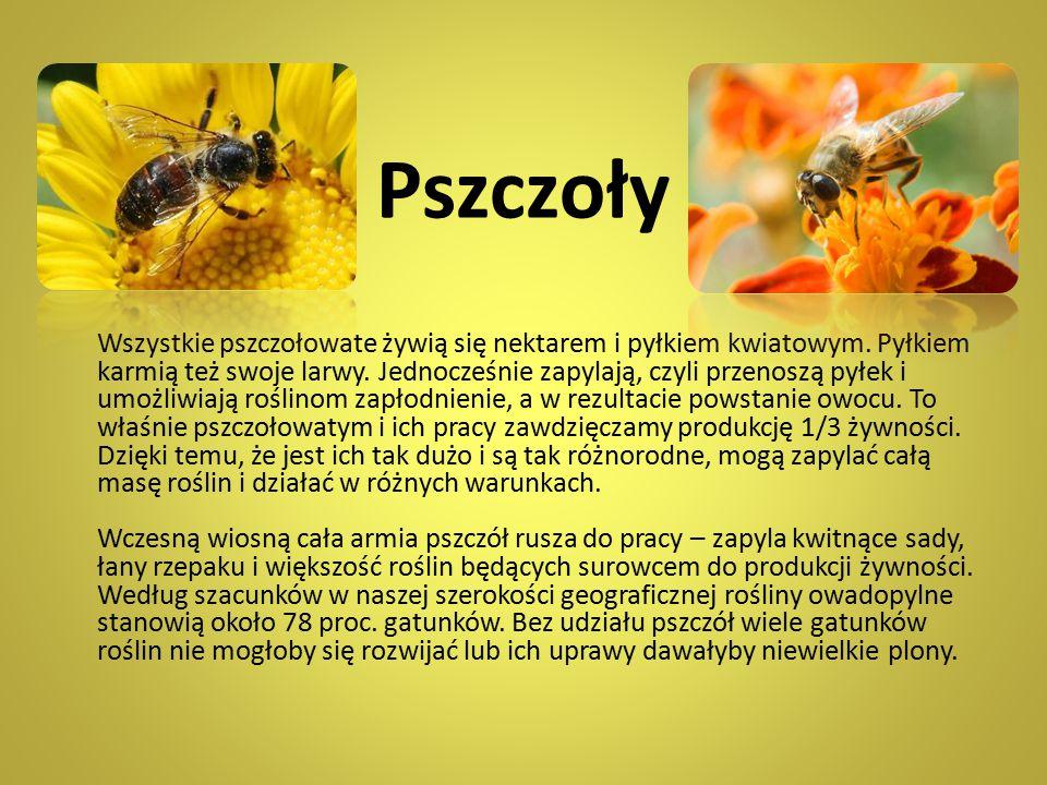 Pszczoły Wszystkie pszczołowate żywią się nektarem i pyłkiem kwiatowym. Pyłkiem karmią też swoje larwy. Jednocześnie zapylają, czyli przenoszą pyłek i
