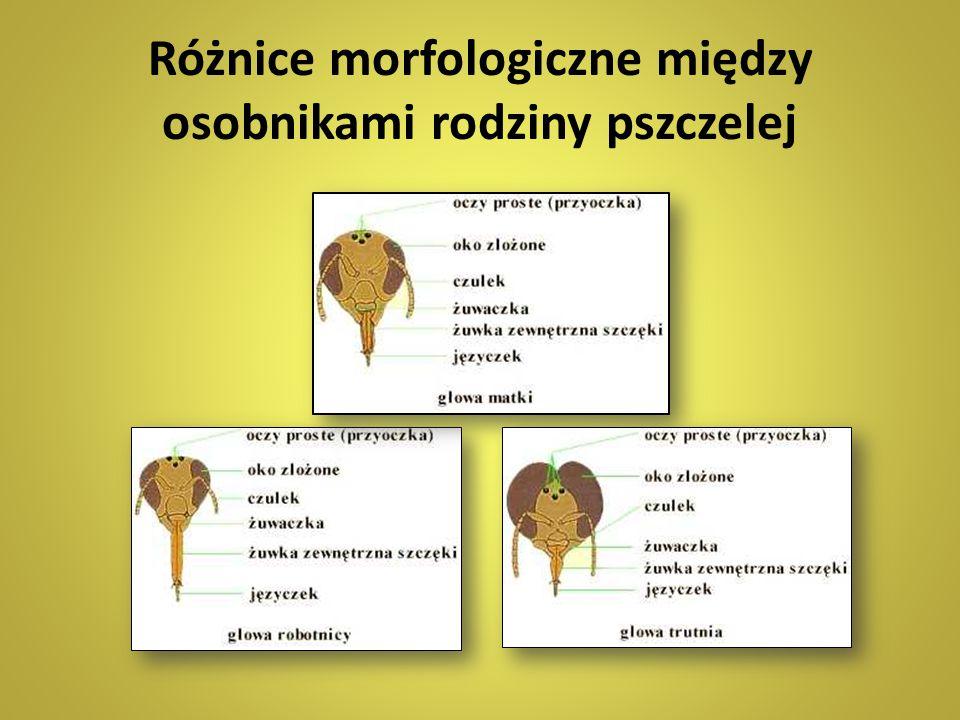Różnice morfologiczne między osobnikami rodziny pszczelej