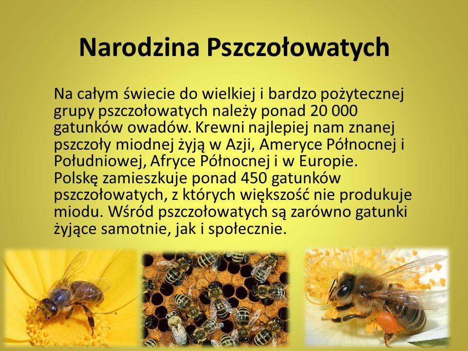 Narodzina Pszczołowatych Na całym świecie do wielkiej i bardzo pożytecznej grupy pszczołowatych należy ponad 20 000 gatunków owadów. Krewni najlepiej