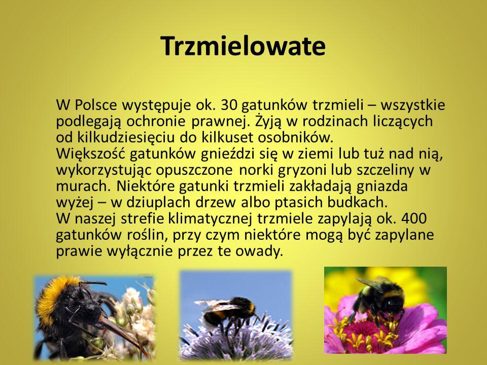 Trzmielowate W Polsce występuje ok. 30 gatunków trzmieli – wszystkie podlegają ochronie prawnej. Żyją w rodzinach liczących od kilkudziesięciu do kilk