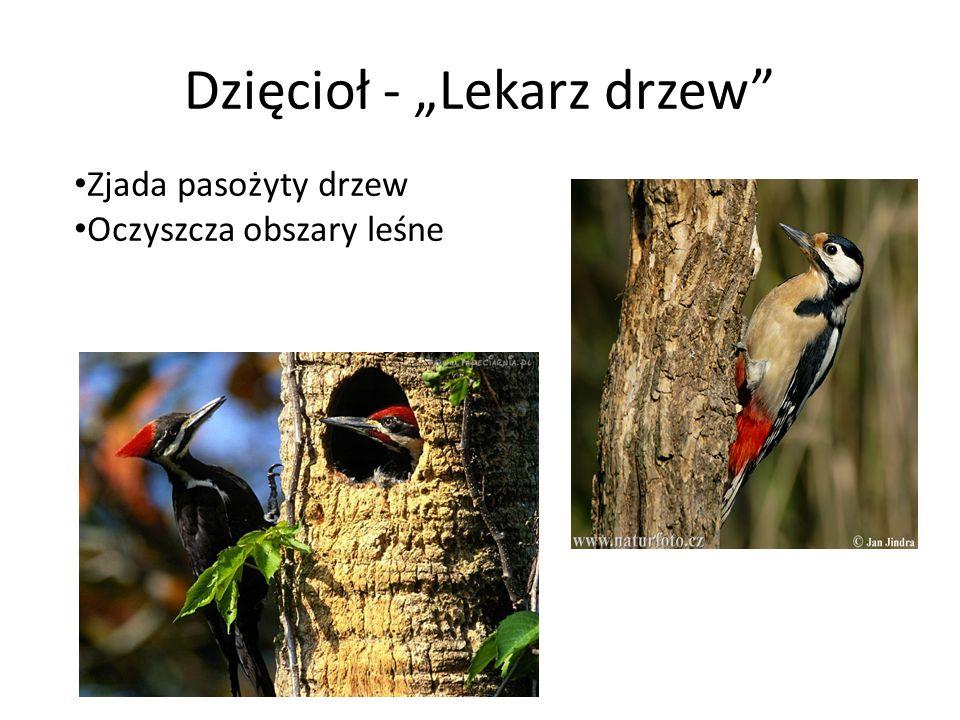 """Dzięcioł - """"Lekarz drzew"""" Zjada pasożyty drzew Oczyszcza obszary leśne"""