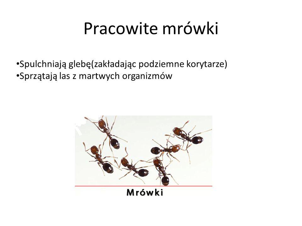 Pracowite mrówki Spulchniają glebę(zakładając podziemne korytarze) Sprzątają las z martwych organizmów