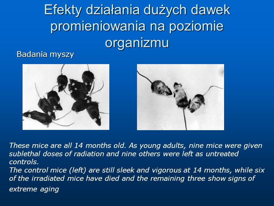 Efekty działania dużych dawek promieniowania na poziomie organizmu Badania myszy These mice are all 14 months old.